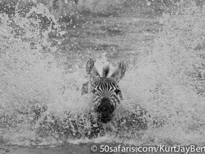 Splashing zebra