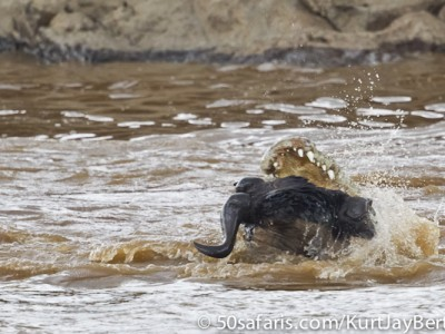Another helpless victim, wildebeest and crocodile