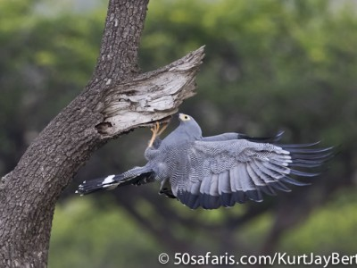 Hunting African Harrier Hawk