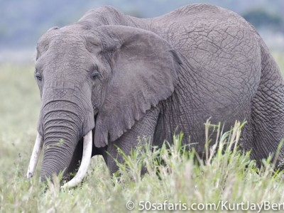 Elephant in the Masai Mara
