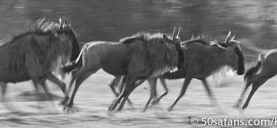 Galloping wildebeest