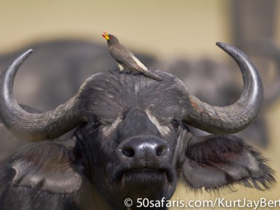 Buffalo with yellow billed oxpecker