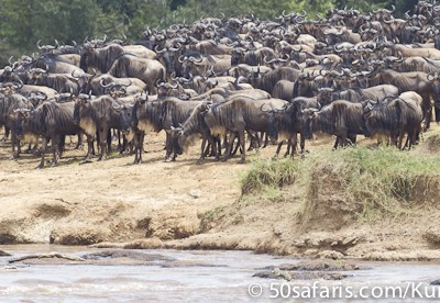Waiting to cross, wildebeest at the Mara River