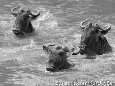 Swimming wildebeest