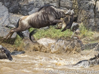 Through the rocks, a wildebeest jumping into the Mara river