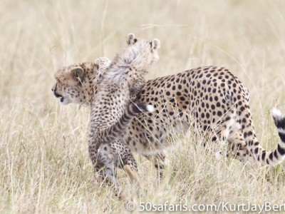 A patient cheetah mother