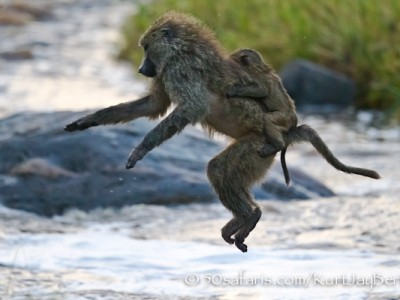 Leaping baboon, kurt jay bertels, migration, photo safari