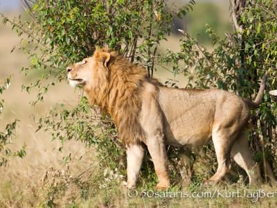 Scent marking lion, Kenya, Kurt Jay Bertels, migration
