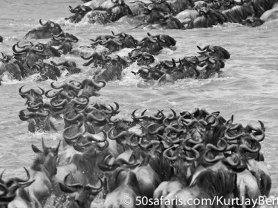 Crossing wildebeest