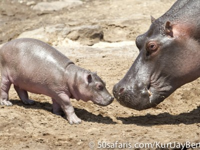 Tender touch - hippo and baby
