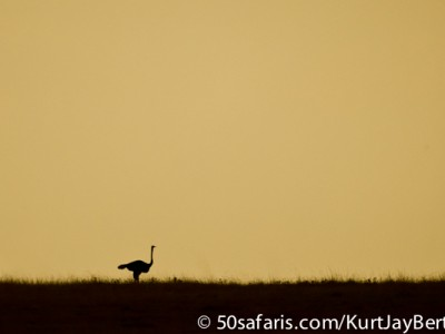 Solitary ostrich