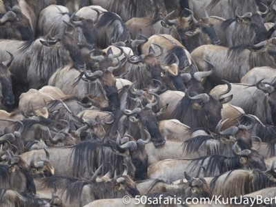 Gathering wildebeest