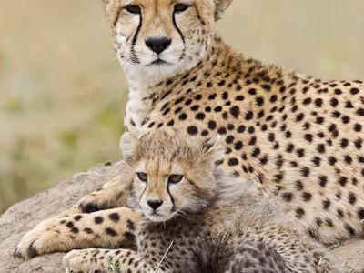 Classic cheetah portrait