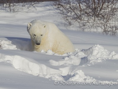 Polar bear, arctic, climate change, global warming, safari, photo safari, photographic safari, photo tour, bear, white, ice, photograph, wildlife photography, churchill, manitoba, canada, Kurt Jay Bertels