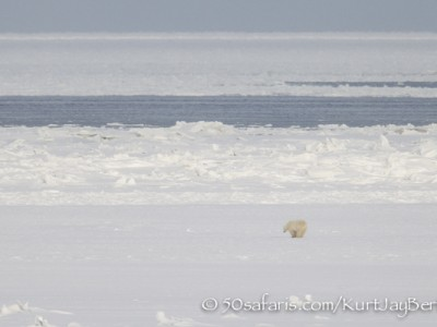 Polar Bear, ice bear, safari, photo safari, photographic safari, photo tour, wildlife photographic safari, canada, churchill, exclusive, kurt jay bertels, polar bear safari, 50 safaris, 50 photographic safaris, northern lights, aurora borealis, forest, tundra, hunt, hunting seals, seal, breathing hole