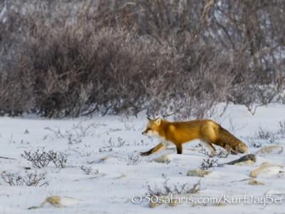polar bear, fox, arctic fox, red fox, ice bear, bear, canada, churchill, hudson bay, ice, freeze, northern lights, aurora borealis, kurt jay bertels, ptarmigan, safari, photo safari, photographic safari, 50 safaris, 50 photographic safaris, photo tour, photo workshop, photo lessons, tundra