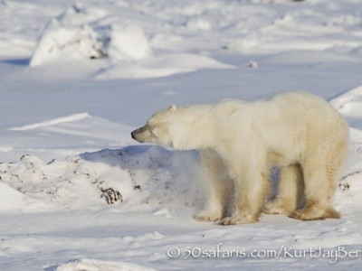 polar bear, fox, arctic fox, red fox, ice bear, bear, canada, churchill, hudson bay, ice, freeze, northern lights, aurora borealis, kurt jay bertels, ptarmigan, safari, photo safari, photographic safari, 50 safaris, 50 photographic safaris, photo tour, photo workshop, photo lessons, tundra, shaking, snow