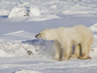 polar bear, fox, arctic fox, red fox, ice bear, bear, canada, churchill, hudson bay, ice, freeze, northern lights, aurora borealis, kurt jay bertels, ptarmigan, safari, photo safari, photographic safari, 50 safaris, 50 photographic safaris, photo tour, photo workshop, photo lessons, tundra, shaking, snow