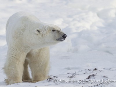 polar bear, fox, arctic fox, red fox, ice bear, bear, canada, churchill, hudson bay, ice, freeze, northern lights, aurora borealis, kurt jay bertels, ptarmigan, safari, photo safari, photographic safari, 50 safaris, 50 photographic safaris, photo tour, photo workshop, photo lessons, tundra