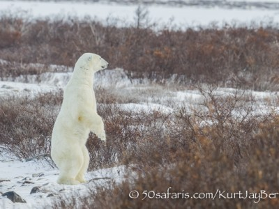 polar bear, fox, arctic fox, red fox, ice bear, bear, canada, churchill, hudson bay, ice, freeze, northern lights, aurora borealis, kurt jay bertels, ptarmigan, safari, photo safari, photographic safari, 50 safaris, 50 photographic safaris, photo tour, photo workshop, photo lessons, tundra, standing