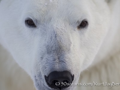 polar bear, fox, arctic fox, red fox, ice bear, bear, canada, churchill, hudson bay, ice, freeze, northern lights, aurora borealis, kurt jay bertels, ptarmigan, safari, photo safari, photographic safari, 50 safaris, 50 photographic safaris, photo tour, photo workshop, photo lessons, tundra, close up, face
