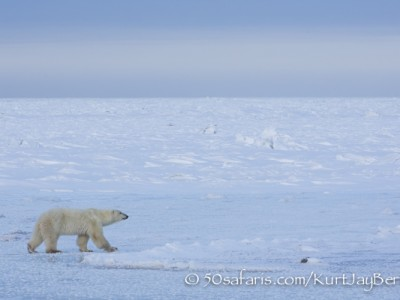 polar bear, fox, arctic fox, red fox, ice bear, bear, female, canada, churchill, hudson bay, ice, freeze, northern lights, aurora borealis, kurt jay bertels, ptarmigan, safari, photo safari, photographic safari, 50 safaris, 50 photographic safaris, photo tour, photo workshop, photo lessons, tundra
