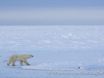 polar bear, fox, arctic fox, red fox, ice bear, bear, female, canada, churchill, hudson bay, ice, freeze, northern lights, aurora borealis, kurt jay bertels, ptarmigan, safari, photo safari, photographic safari, 50 safaris, 50 photographic safaris, photo tour, photo workshop, photo lessons, tundra