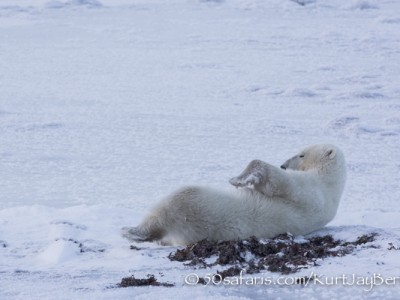 polar bear, fox, arctic fox, red fox, ice bear, bear, canada, churchill, hudson bay, ice, freeze, northern lights, aurora borealis, kurt jay bertels, ptarmigan, safari, photo safari, photographic safari, 50 safaris, 50 photographic safaris, photo tour, photo workshop, photo lessons, tundra, relaxing, sleeping, playing