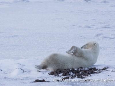 polar bear, fox, arctic fox, red fox, ice bear, bear, canada, churchill, hudson bay, ice, freeze, northern lights, aurora borealis, kurt jay bertels, ptarmigan, safari, photo safari, photographic safari, 50 safaris, 50 photographic safaris, photo tour, photo workshop, photo lessons, tundra, relaxing, sleeping, playing