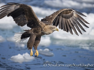 Japan, winter, wildlife, safari, photo safari, photo tour, photographic safari, photographic tour, photo workshop, wildlife photography, 50 safaris, 50 photographic safaris, kurt jay bertels, stellar sea eagle, white tailed eagle
