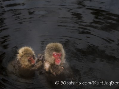 Japan, winter, wildlife, safari, photo safari, photo tour, photographic safari, photographic tour, photo workshop, wildlife photography, 50 safaris, 50 photographic safaris, kurt jay bertels, ice, snow monkey, japanese macaque, japanese monkey, grooming, swimming, bathing