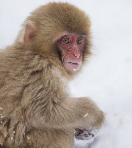 Japan, winter, wildlife, safari, photo safari, photo tour, photographic safari, photographic tour, photo workshop, wildlife photography, 50 safaris, 50 photographic safaris, kurt jay bertels, ice, snow monkey, japanese macaque, japanese monkey, baby, young, cute