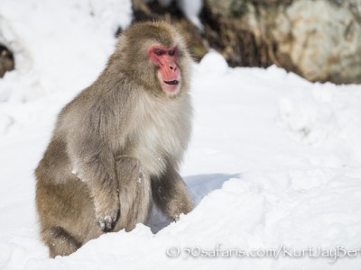 Japan, winter, wildlife, safari, photo safari, photo tour, photographic safari, photographic tour, photo workshop, wildlife photography, 50 safaris, 50 photographic safaris, kurt jay bertels, ice, snow monkey, japanese macaque, japanese monkey, male, fighting