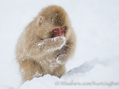 Japan, winter, wildlife, safari, photo safari, photo tour, photographic safari, photographic tour, photo workshop, wildlife photography, 50 safaris, 50 photographic safaris, kurt jay bertels, ice, snow monkey, japanese macaque, japanese monkey, baby, cute, eating, feeding