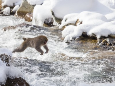 Japan, winter, wildlife, safari, photo safari, photo tour, photographic safari, photographic tour, photo workshop, wildlife photography, 50 safaris, 50 photographic safaris, kurt jay bertels, ice, snow monkey, japanese macaque, japanese monkey, crossing the river, jumping