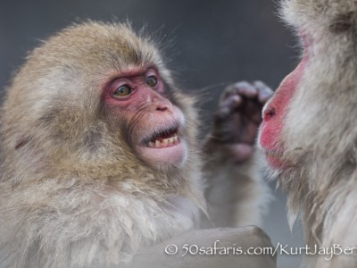 Japan, winter, wildlife, safari, photo safari, photo tour, photographic safari, photographic tour, photo workshop, wildlife photography, 50 safaris, 50 photographic safaris, kurt jay bertels, ice, snow monkey, japanese macaque, japanese monkey, baby, fighting, mother