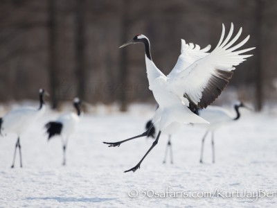 Japan, winter, wildlife, safari, photo safari, photo tour, photographic safari, photographic tour, photo workshop, wildlife photography, 50 safaris, 50 photographic safaris, kurt jay bertels, red crowned cranes, landing, flying, crane sanctuary, display, jumping
