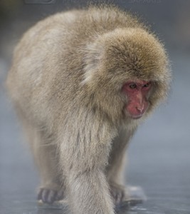 Japan, winter, wildlife, safari, photo safari, photo tour, photographic safari, photographic tour, photo workshop, wildlife photography, 50 safaris, 50 photographic safaris, kurt jay bertels, ice, snow monkey, japanese macaque, japanese monkey, swimming, hot spring, bathing, relaxing, feeding