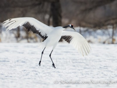 Japan, winter, wildlife, safari, photo safari, photo tour, photographic safari, photographic tour, photo workshop, wildlife photography, 50 safaris, 50 photographic safaris, kurt jay bertels, red crowned cranes, landing