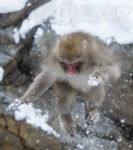 Japan, winter, wildlife, safari, photo safari, photo tour, photographic safari, photographic tour, photo workshop, wildlife photography, 50 safaris, 50 photographic safaris, kurt jay bertels, ice, snow monkey, japanese macaque, japanese monkey, swimming, hot spring, bathing, jumping