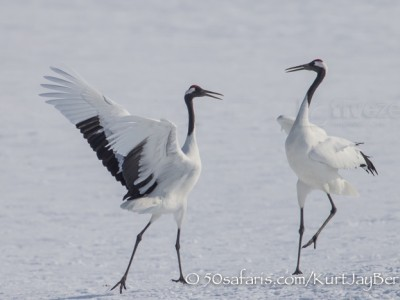 Japan, winter, wildlife, safari, photo safari, photo tour, photographic safari, photographic tour, photo workshop, wildlife photography, 50 safaris, 50 photographic safaris, kurt jay bertels, red crowned cranes, display, jumping