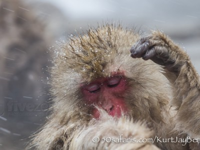 Japan, winter, wildlife, safari, photo safari, photo tour, photographic safari, photographic tour, photo workshop, wildlife photography, 50 safaris, 50 photographic safaris, kurt jay bertels, ice, snow monkey, japanese macaque, japanese monkey, swimming, hot spring, bathing, relaxing, grooming
