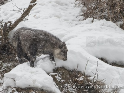 Japan, winter, wildlife, safari, photo safari, photo tour, photographic safari, photographic tour, photo workshop, wildlife photography, 50 safaris, 50 photographic safaris, kurt jay bertels, ice, japanese serow, serow, antelope, mammal