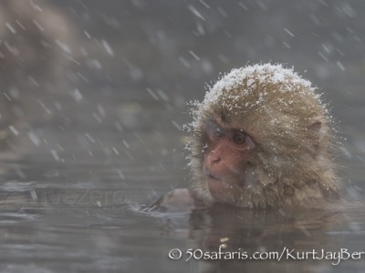 Japan, winter, wildlife, safari, photo safari, photo tour, photographic safari, photographic tour, photo workshop, wildlife photography, 50 safaris, 50 photographic safaris, kurt jay bertels, ice, snow monkey, japanese macaque, japanese monkey, swimming, hot spring, bathing, relaxing, snowing, snow