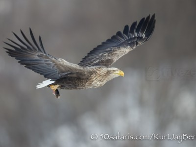 Japan, winter, wildlife, safari, photo safari, photo tour, photographic safari, photographic tour, photo workshop, wildlife photography, 50 safaris, 50 photographic safaris, kurt jay bertels, white tailed eagle, fish