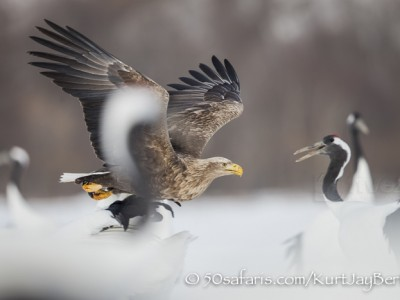 Japan, winter, wildlife, safari, photo safari, photo tour, photographic safari, photographic tour, photo workshop, wildlife photography, 50 safaris, 50 photographic safaris, kurt jay bertels, white tailed eagle, japanese red crowned crane, flying, fighting, fish