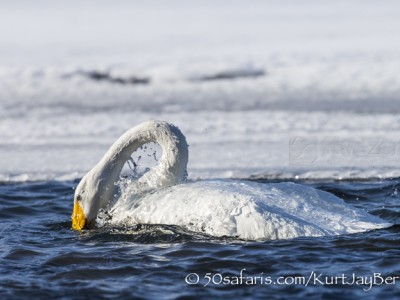 Japan, winter, wildlife, safari, photo safari, photo tour, photographic safari, photographic tour, photo workshop, wildlife photography, 50 safaris, 50 photographic safaris, kurt jay bertels, whooper swans, ice, water, bathing
