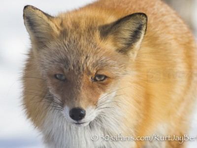 Japan, winter, wildlife, safari, photo safari, photo tour, photographic safari, photographic tour, photo workshop, wildlife photography, 50 safaris, 50 photographic safaris, kurt jay bertels, red fox, close up, face, portrait