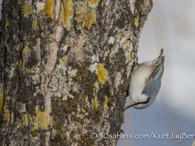 Japan, winter, wildlife, safari, photo safari, photo tour, photographic safari, photographic tour, photo workshop, wildlife photography, 50 safaris, 50 photographic safaris, kurt jay bertels, bird, nuthatch, eurasian nuthatch