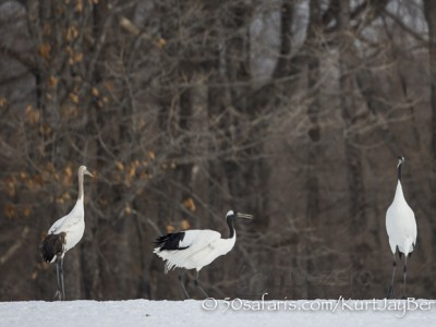 Japan, winter, wildlife, safari, photo safari, photo tour, photographic safari, photographic tour, photo workshop, wildlife photography, 50 safaris, 50 photographic safaris, kurt jay bertels, red crowned cranes, japanese cranes,